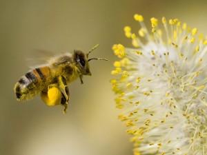 bee-collecting-pollen